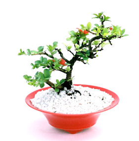 http://www.tokyo-bonsai.com/img8522t.jpg