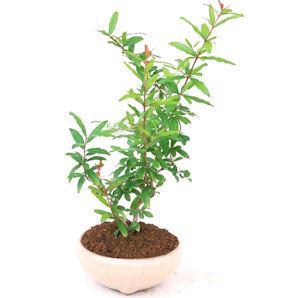 盆栽 1ドル 1ユーロ系